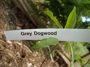Grey Dogwood-stem