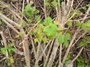 Highbush Cranberry - Bark