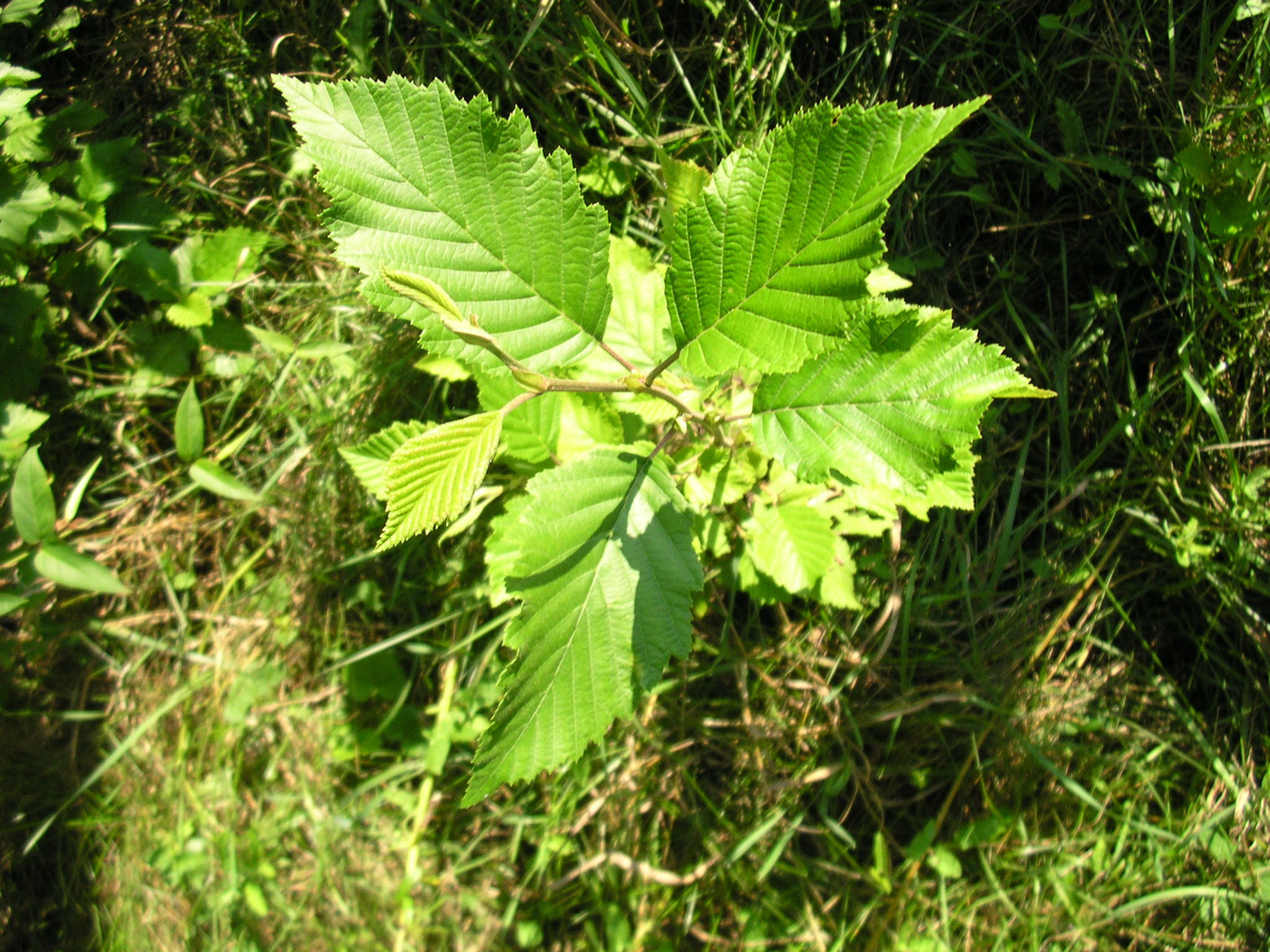 Silver maples species name saccharinum means sugary in reference to the sap though silver maple sap is not as sweet as that of sugar maple Acer saccharum The genus name Acer means sharp referring to the sharp tips of the leaf lobes of most maples