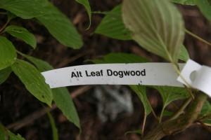 alt leaf dogwood front and back leaves