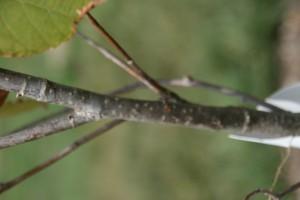 basswood stem