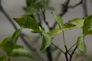 hop tree leaves