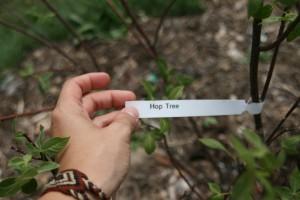 hop tree stem