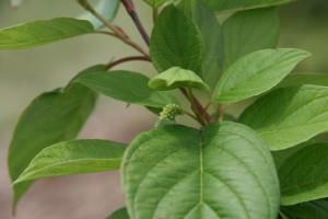red osier dogwood leaves