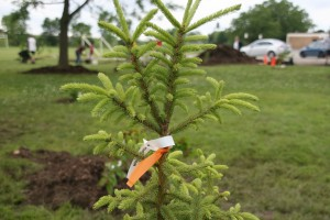 white spruce needles